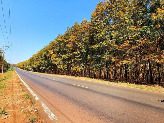 Bình Phước: Vẻ đẹp hoang sơ từ những cánh rừng cao su mùa thay lá lãng mạn như phim Hàn - 1