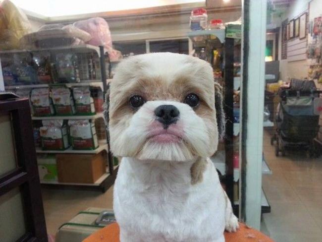 Những chú chó vuông: Đa số chúng ta đều thấy tạo hình này thậtkỳ lạ, nhưng kiểu cắt lông đầu hình vuông hoàn hảo như thế này là hoàn toàn bình thường đối với những chú chó ở Đài Loan và Nhật Bản.