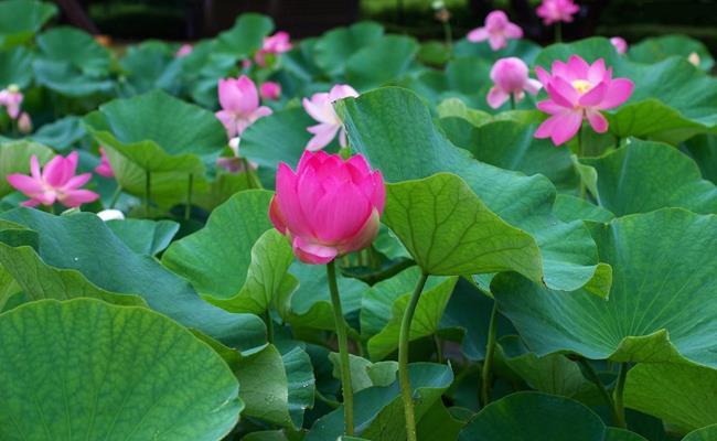 Hoa sen thường nở vào tháng 5 đến khoảng tháng 9, trong đó thời điểm hoa đẹp và thơm nhất là từ cuối tháng 5 đến nửa cuối tháng 6.