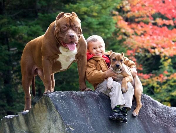 """Từng được xem là """"chó của mọi người Mỹ"""", vì sao Pitbull ngày nay khiến nhiều người sợ hãi? - 1"""