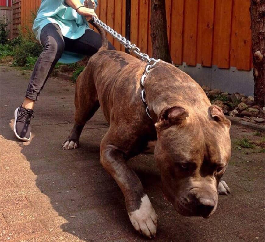 Đấm đá, vụt gậy cũng vô hiệu, làm gì để chó Pitbull khỏi cắn người? - 1