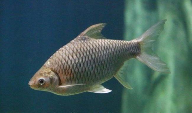 Cá mè vinh không chỉ có ở Việt Nam mà còn có ở Thái Lan, Malaysia và Indonesia. Chúng có thể sống ở các hạ lưu sông lớn, nhánh nhỏ hoặc ao mương.