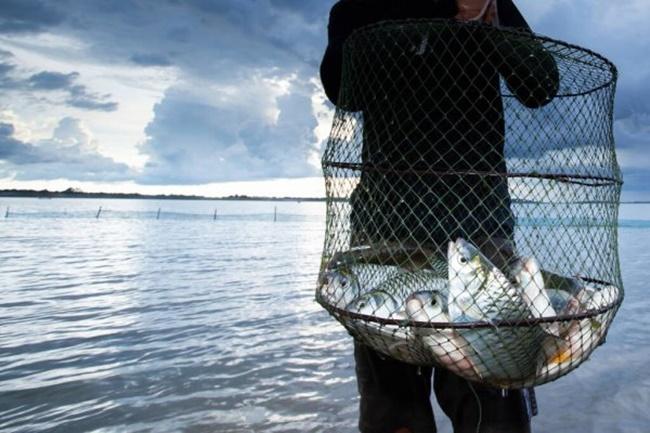 Giữa thập niên 80 của thế kỷ 20, số lượng cá mè vinh tự nhiên dần biến mất, đến mức rất khó tìm được.