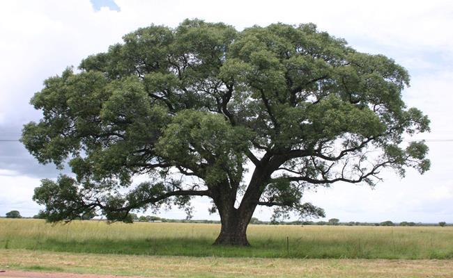 Marula (Sclerocarya birrea) là giống cây mọc phổ biến ở châu Phi, đặc biệt là ở Nam Phi. Giống cây này đã xuất hiện từ cả ngàn năm trước.