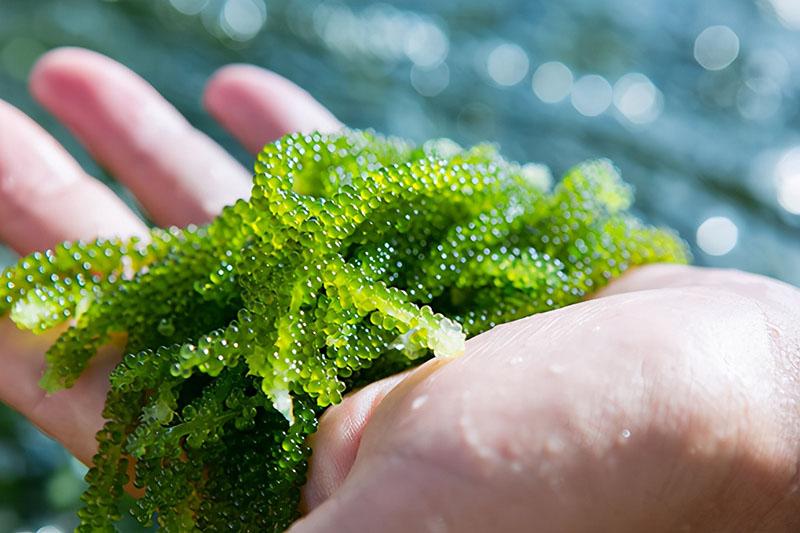 """Loại tảo này người Việt ít ai để ý nhưng được ví như """"tảo trường thọ"""" - 1"""