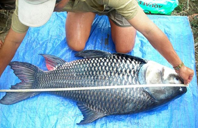 Loài cá này có kích thước khủng khiến ai cũng choáng, mấy năm qua trở thành hướng đi mới trong phát triển kinh tế.