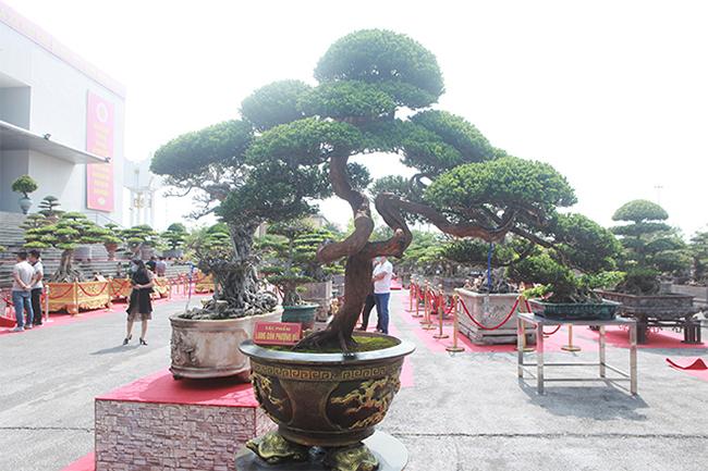 Cây tùng tuyết bonsai có hình dáng kỳ lạ khiến du khách, giới chơi cây thích thú ngắm nhìn tại triển lãm cây cảnhtại Ninh Bình