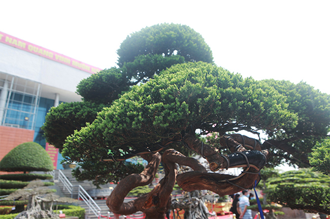 Theo anh Thành, cây được các nghệ nhân xưa tạo dáng theo lối cổ.