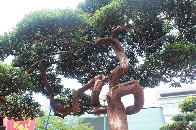 Chủ nhân tác phẩm cho hay, cây phải mất 1-2 năm nữa hoàn thiện tay cành. Đã có rất nhiều đại gia, người yêu cây cảnh nghệ thuật hỏi mua nhưng anh chưa bán vì muốn hoàn thiện cây, chơi một thời gian nữa