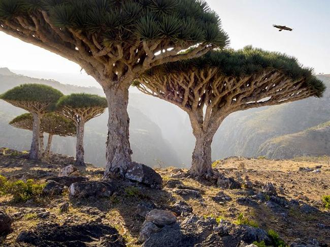 Đảo Socotra ở Thái Bình Dương: Hòn đảo này là nơi sinh sống của nhiều dạng động thực vật kỳ lạ. Ví dụ như cây huyết long này.