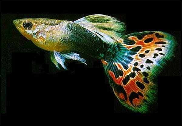 Sốc: Cá bảy màu bé tý mà nhiều người thích nuôi thực chất lại là loài cá nguy hiểm hơn cả hổ và cá mập - 1