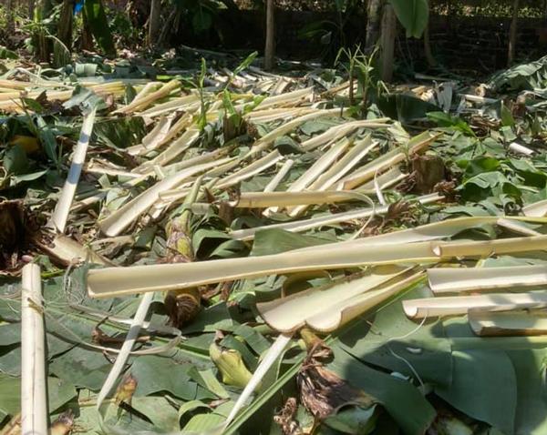 Cây từng làm thức ăn cho lợn bỗng được thu mua, dân trồng kiếm cả chục triệu/ha - 1