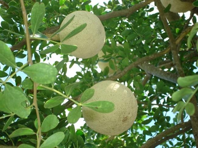 Quả quách nhìn như trái bưởi, được bán nhiều ở Trà Vinh, Sóc Trăng.