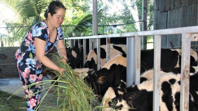 Cho không xuể, người nuôi bò sữa ở Sóc Trăng đổ bỏ nửa triệu đồng mỗi ngày - 1