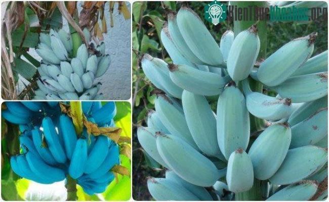 Được biết, giống chuối này chủ yếu được trồng ở Đông Nam Á, rất phổ biến ở Hawaii và một số nơi ở Trung Mỹ.