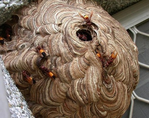 Cụ ông bị ong vò vẽ trong vườn nhà đốt 30 mũi tử vong - 1