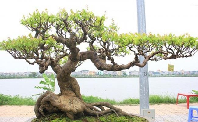 Trong số những loại cây cảnh được giới nhà giàu Việt ưa chuộng, có không ít cây có giá hơn 1 tỷ đồng.
