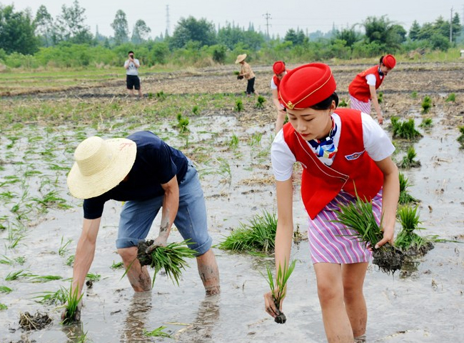 Một học viện hàng không đã cho các nữ tiếp viên thực hành cấy lúa ởThành Đô, tỉnh Tứ Xuyên, Trung Quốc.