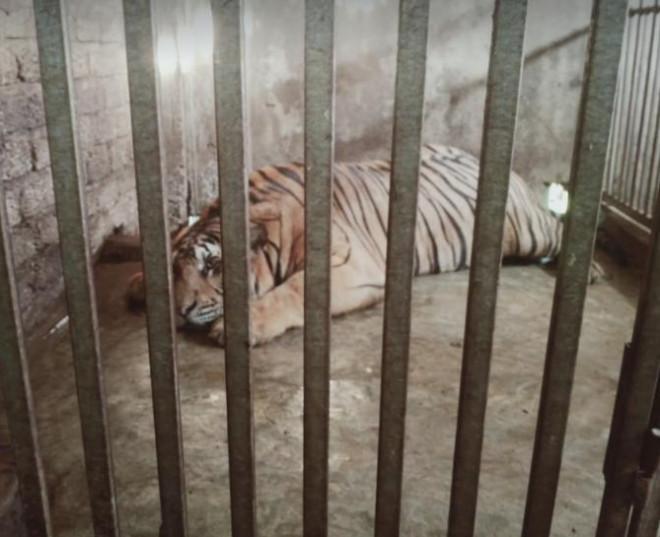 CLIP: Cận cảnh 17 con hổ lớn nuôi nhốt trái phép trong nhà dân - 1