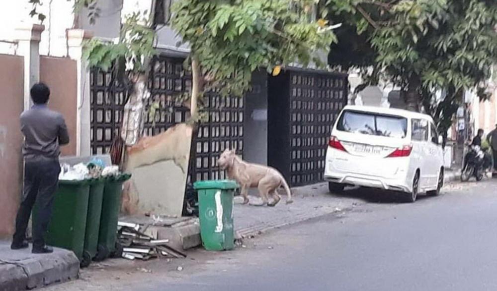 Video: Sư tử của người đàn ông TQ bất ngờ đi rông trên đường phố Campuchia - 1