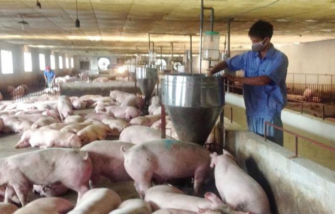 Giá lợn hơi giảm mạnh, thấp nhất 49.000 đồng/kg - 1