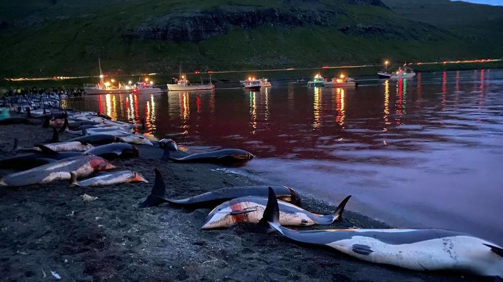 Video: Gần 1.500 con cá heo bị tàn sát ở quần đảo Đan Mạch - 1