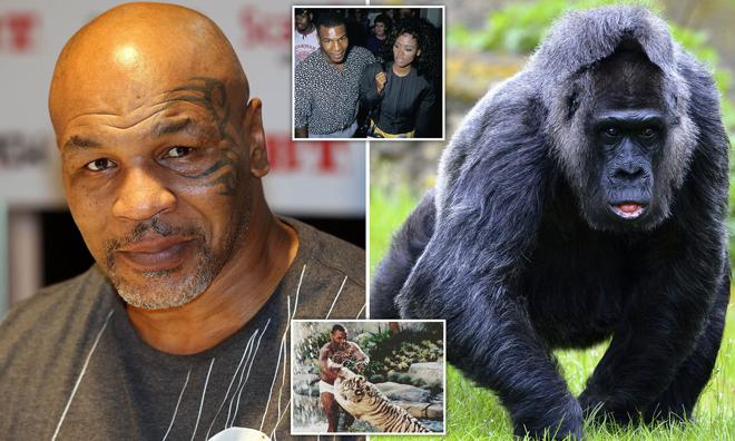 Chơi ngông như Mike Tyson: Lý do cho bảo vệ nhiều tiền để đánh nhau khỉ đột - 1