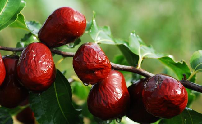 Tại vùng Tân Cương của Trung Quốc có loại táo đỏ ngon trứ danh, sở hữu hàm lượng dinh dưỡng cao có lợi cho sức khoẻ.