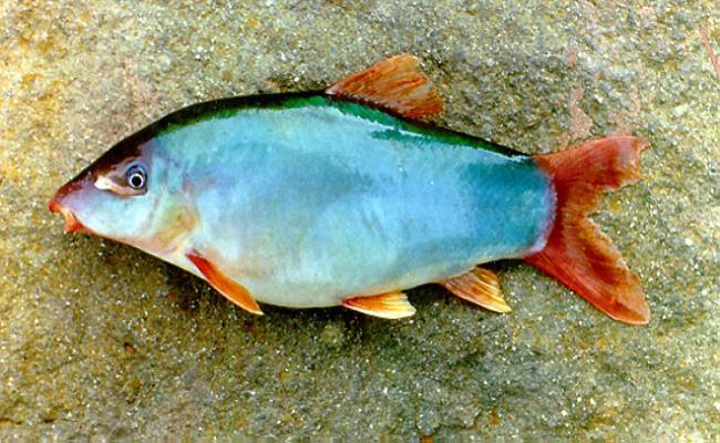 Vài năm gần đây, cá heo nước ngọt mới bắt đầu được nuôi thử nghiệm ở nước ta nhưng đã nhanh chóng thu được thành công, mang lại hiệu quả kinh tế cao.