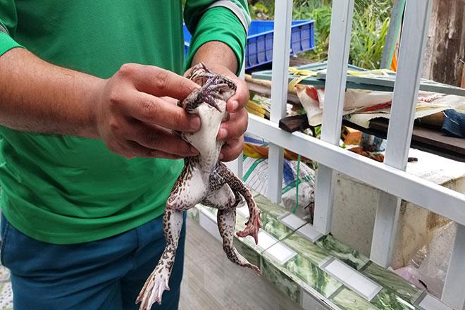 Phát hiện con ếch 6 chân kỳ lạ ở Đồng Tháp - 1