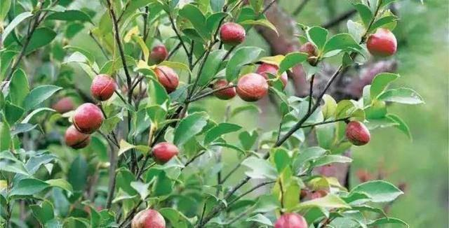 Loại cây mọc đầy ở Việt Nam, có hạt nhìn như phân thỏ, người Trung Quốc nhặt lấy ép ra dầu bán tiền triệu - 1