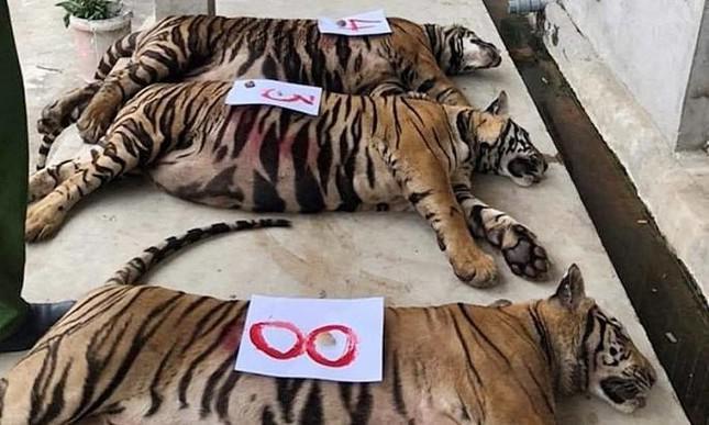 9 con hổ ở Nghệ An còn sống sau vụ giải cứu hiện ra sao? - 1