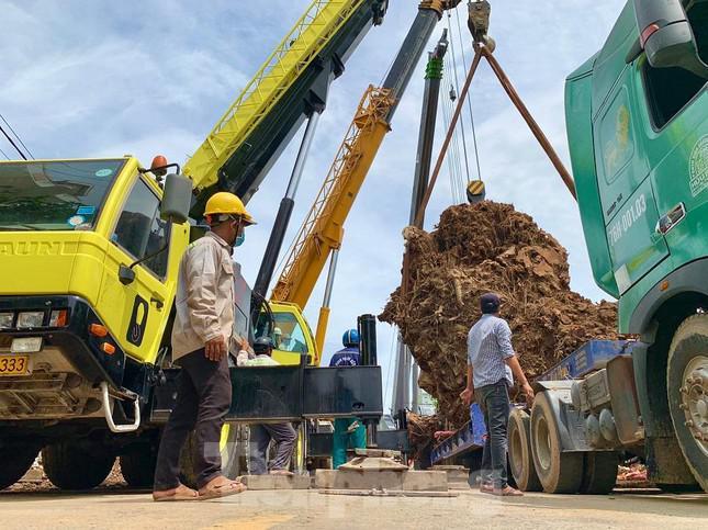 Nhiều xe hạng nặng di dời cây đa cổ thụ hơn 200 năm tuổi ở Quảng Ngãi - 1