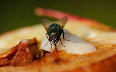 Điều hãi hùng mà bạn có thể gặp phải khi lỡ ăn thức ăn bị ruồi đậu lên - 1
