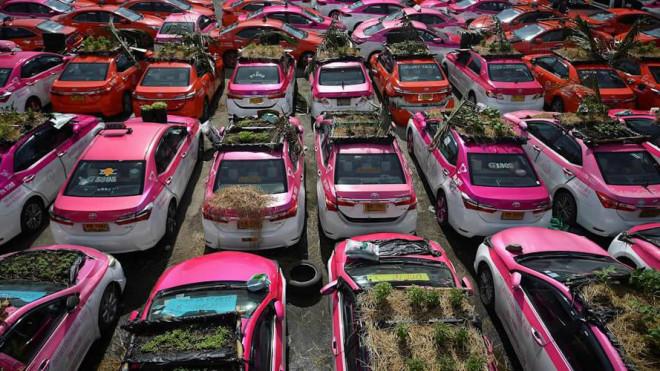 Ế khách mùa dịch, hãng taxi Thái Lan trồng rau trên ô tô - 1