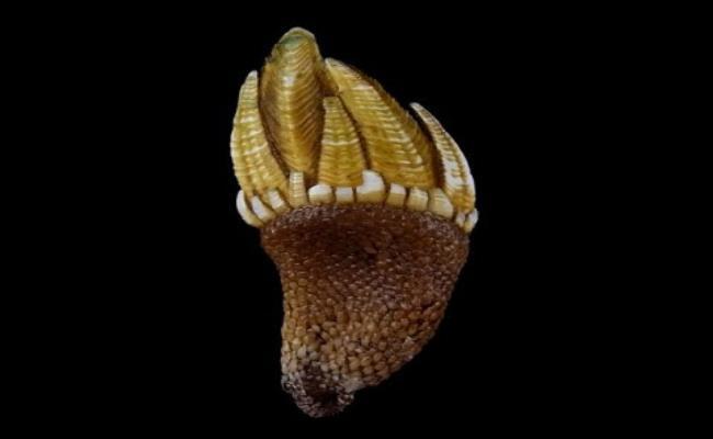 Loài ốc này có hình thù quái dị, nhìn giống như chân rùa nhưng lại mang hương vị ngon ngọt đặc biệt khiến giới đại gia mê mẩn.