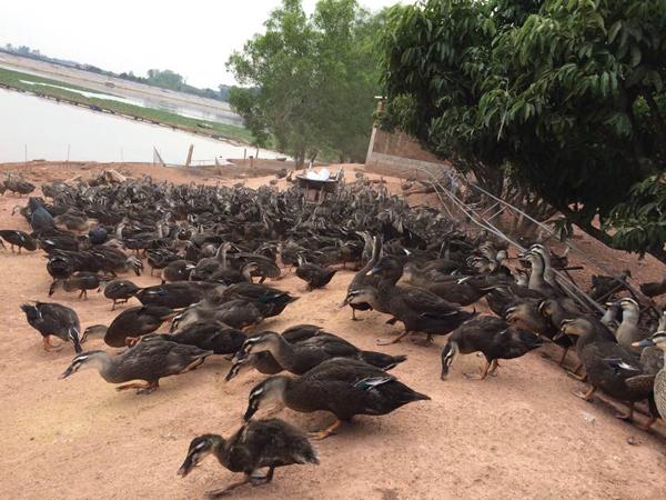 Từ 2 con vịt, người nông dân nghèo Bắc Giang bỗng trở thành tỷ phú - 1